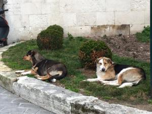 Street dogs Istanbul